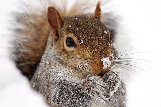 Snowy Squirrel by Kelly Lucero