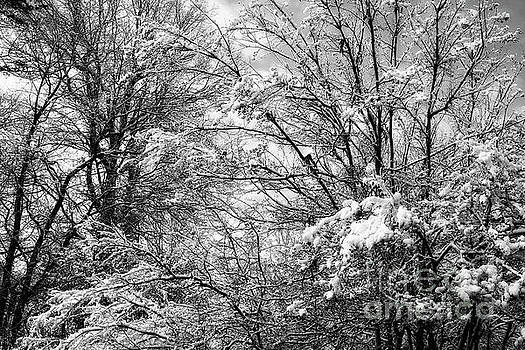 Jill Lang - Snowy Trees in Black and White
