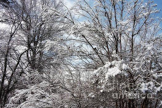Snowy Trees by Jill Lang