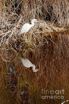 Bob Phillips - Snowy White Egret and Reflection