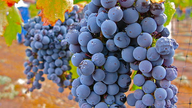 So Many Grapes ... by PJ  Cloud