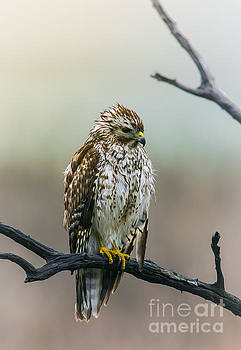 Soaked Feathers - Hawk by Robert Frederick