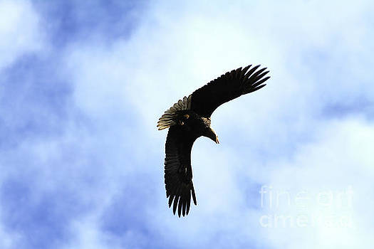 Soaring Eagle by Alyce Taylor