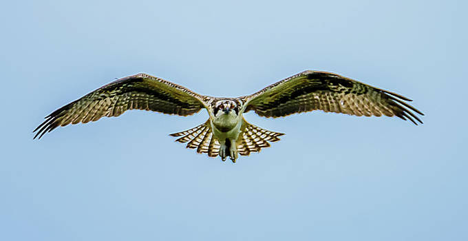 Soaring Osprey Eyes by Jerry Cahill