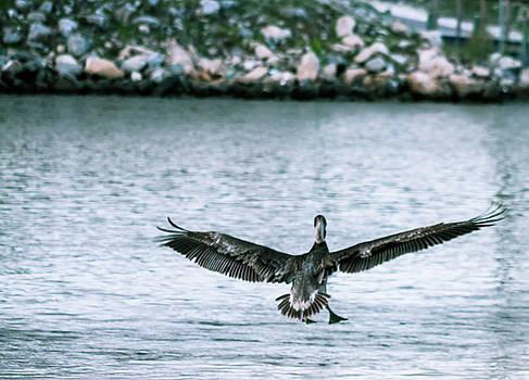 Soaring Pelican by Debra Forand