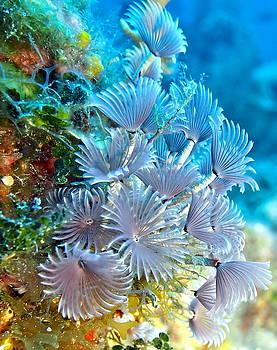 Social Feather Dusters on Coral Reef by Amy McDaniel