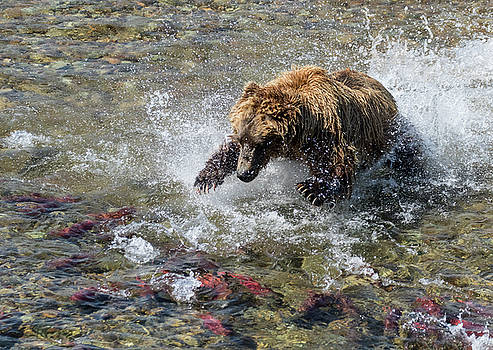 Sockeye in Sight  by Cheryl Strahl