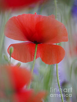 Soft Dawn Poppy by Rachel Morrison