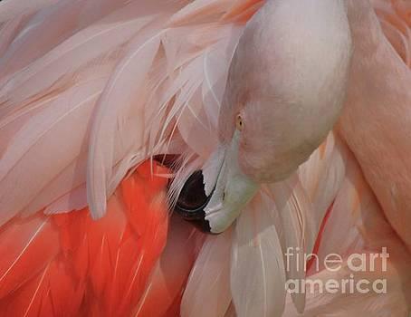 Paulette Thomas - Soft Flamingo