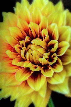 Soft Graphic Dahlia by Garry Gay
