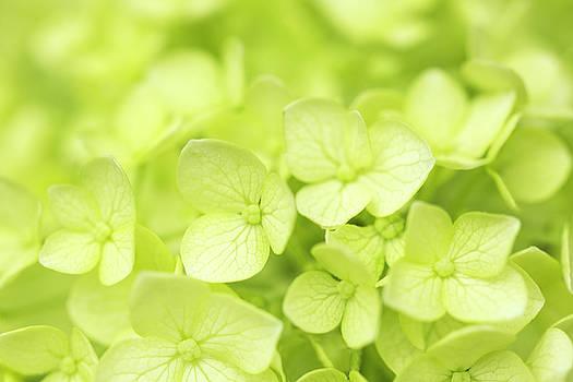 Soft Green Hydrangea by Iris Richardson
