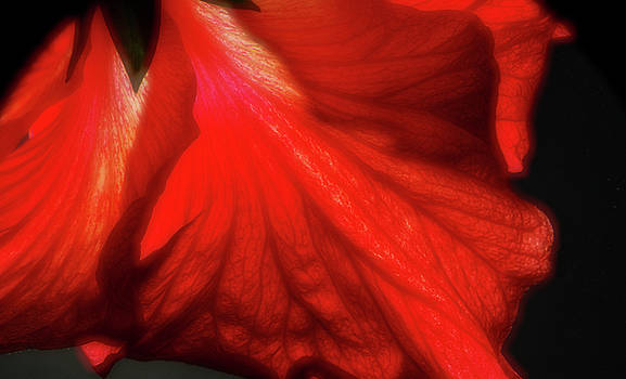 Soft Hibiscus by Larry Jost
