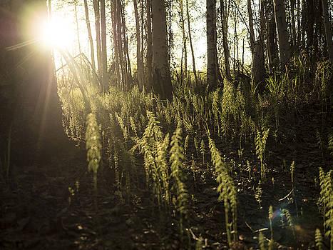 Ian Johnson - Soft Light on the Forest Floor
