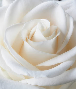 Soft Lovely White Rose by Garry Gay