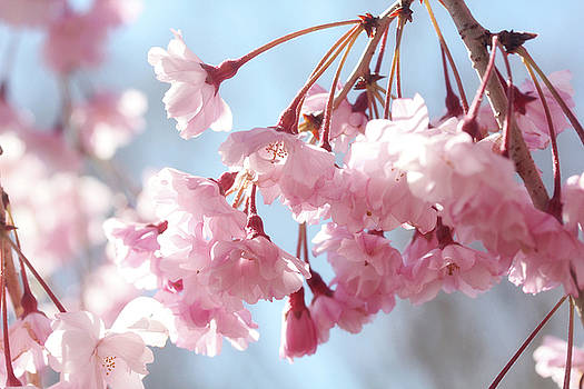 Soft Pink Blossoms by Trina Ansel