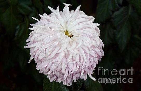 Soft Pink Chrysanthemum  by Jeannie Rhode