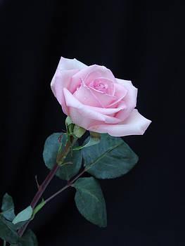 Soft Pink by Ree Reid