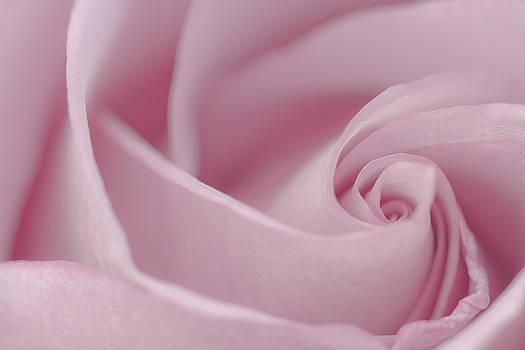 Sandra Foster - Soft Pink Rose Macro