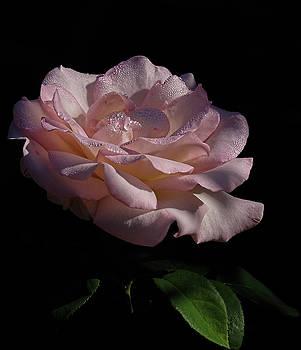 Soft Pink Rose by Ronda Ryan