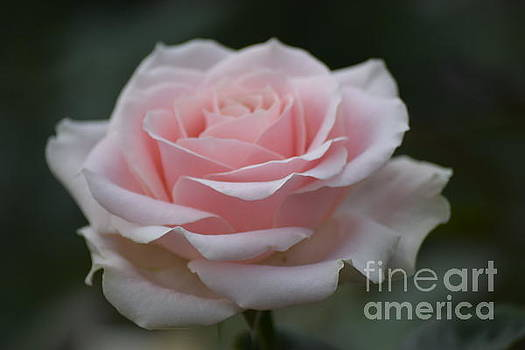 Soft Pink Tea Rose by Jeannie Rhode
