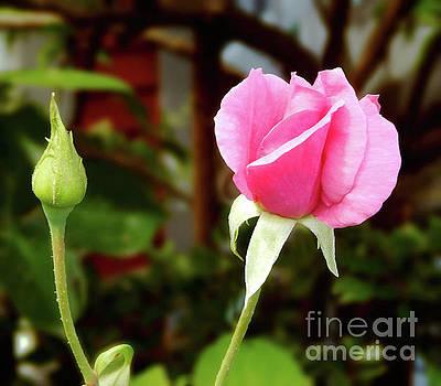 Soft Pink Wild Rose by Dave Nevue