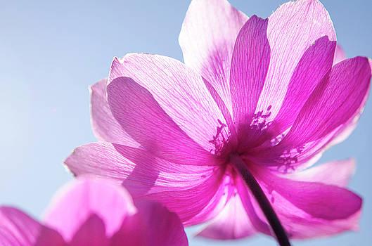 Soft Poppy 1of3 by Kathy Paynter