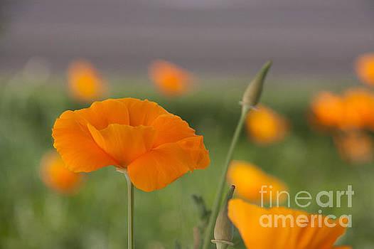 Soft Poppy by Charys Photography