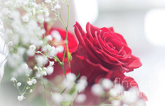 Soft, Romantic, Red Rose by Cheryl Baxter