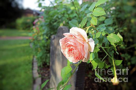 Soft Rose by John S