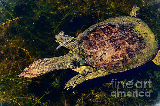 Soft shell turtle by Thomas Gibson