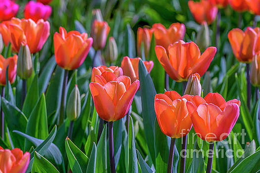 Soft toned colored tulips by Patricia Hofmeester
