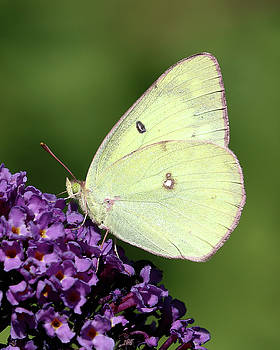 Soft Yellow Butterfly by Doris Potter