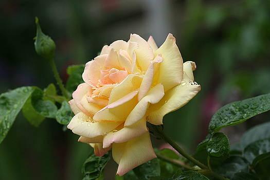 Soft Yellow by Ree Reid