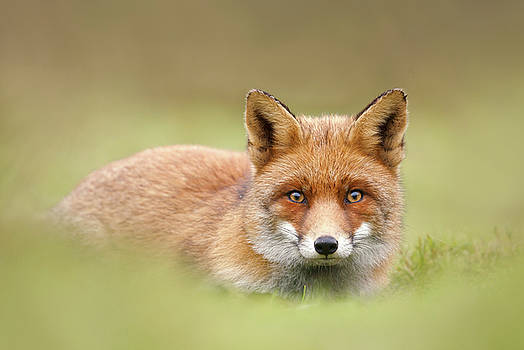 SoftFox series - Intriguing Eyes by Roeselien Raimond