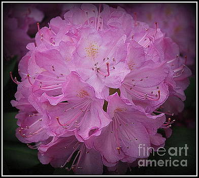 Softly in Purple- Rhododendron by Dora Sofia Caputo Photographic Art and Design