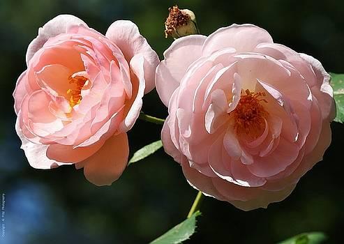 Softly Pink by Al Fritz