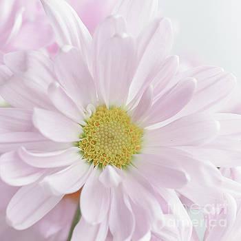 Softness by Linda Hoye