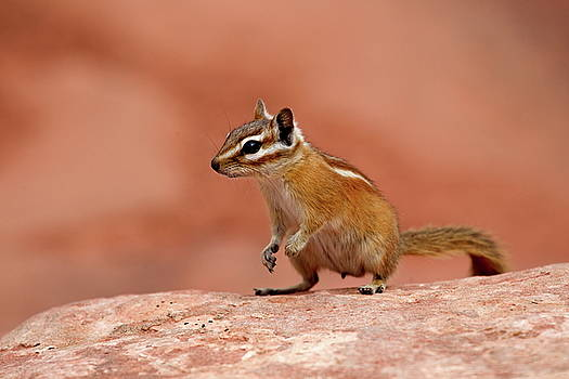 Soil squirrel in Grand Canyon National Park, USA by Ronald Jansen