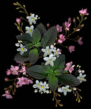 Marsha Tudor - Solanum Raphiolepis