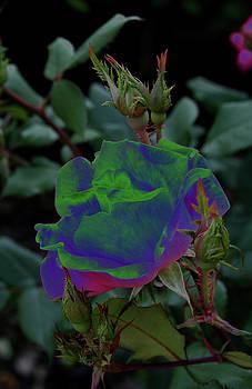 Solarized Rose by Karen Harrison