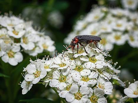 Soldier Beetle by Jouko Lehto