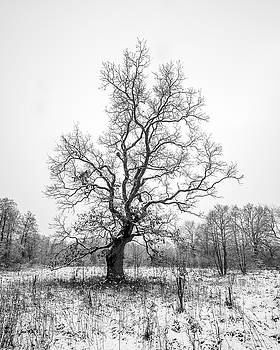 Solitary Oak by Davorin Mance