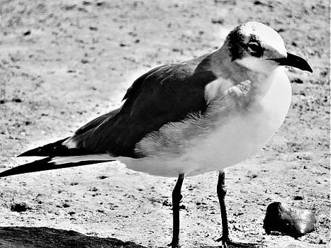 Solitary Sea Gull  by Mario Carta