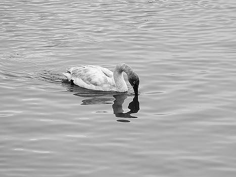 Solitary Swan by Kimberly VanNostrand
