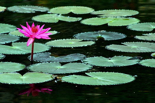 Solitary Water Lily by Laurel Talabere