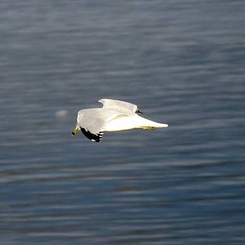 Solo Gull by Phil Bearce