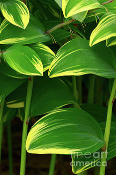 Solomon's Seal by Steven Dillon