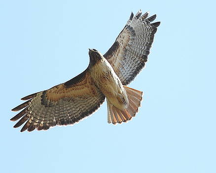 Wingsdomain Art and Photography - Somewhere In The Sky A Red Tailed Hawk Soars