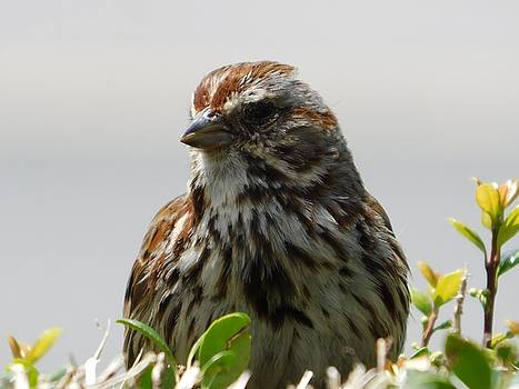Arlane Crump - Song Sparrow