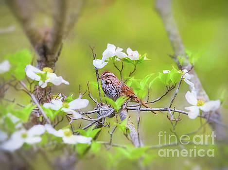 Song Sparrow in Dogwood 2 by Kerri Farley